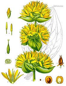 gentiana_lutea_-_kohler-s_medizinal-pflanzen-066